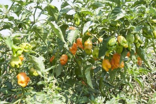 Epica- pianta del peperoncino