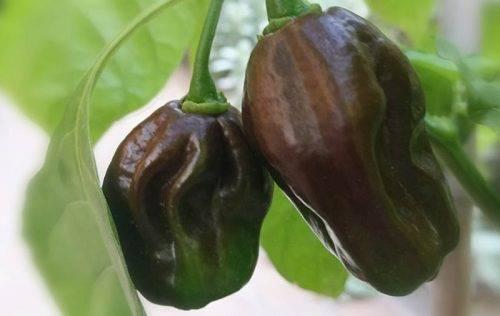 Epica Brown marmellata di peperoncino